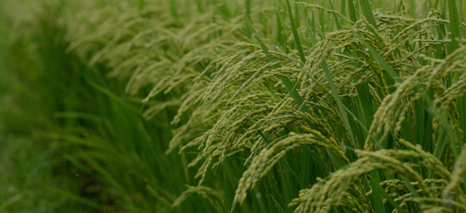 دوره های کشت اول و دوم برنج چه تفاوتی باهم دارند؟