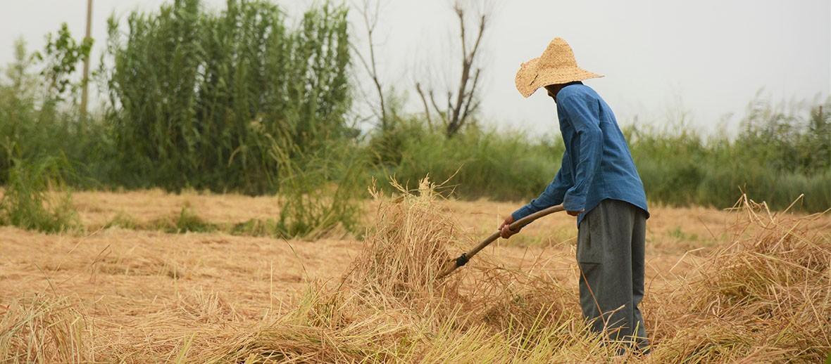 نیازهای آب و هوایی برنج