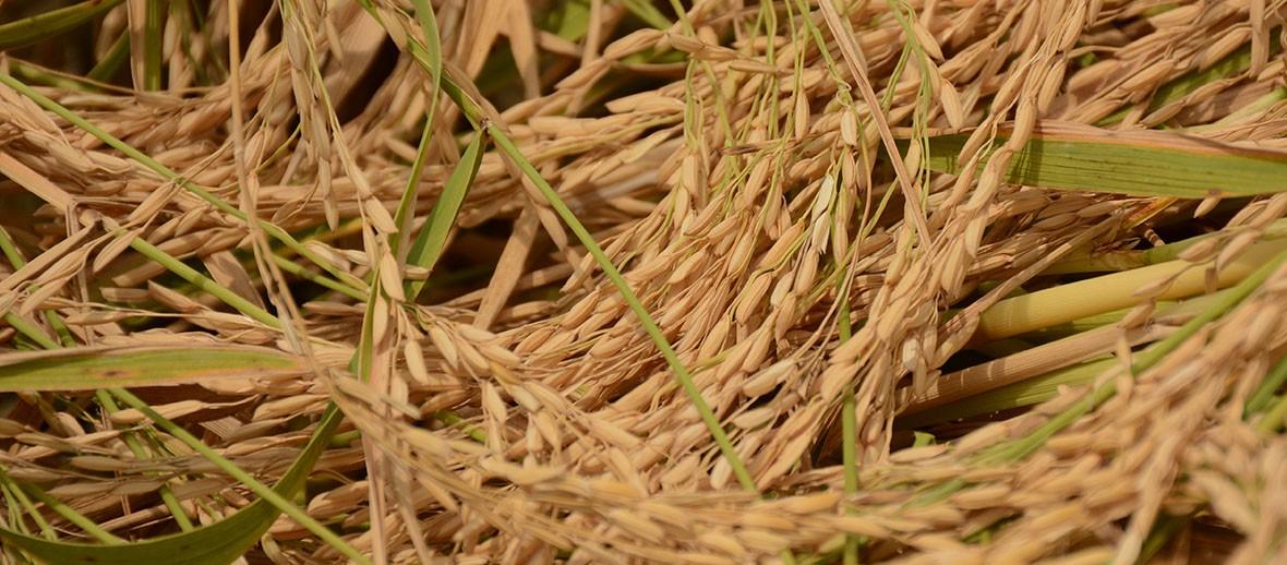 آفات و بیماریهای برنج